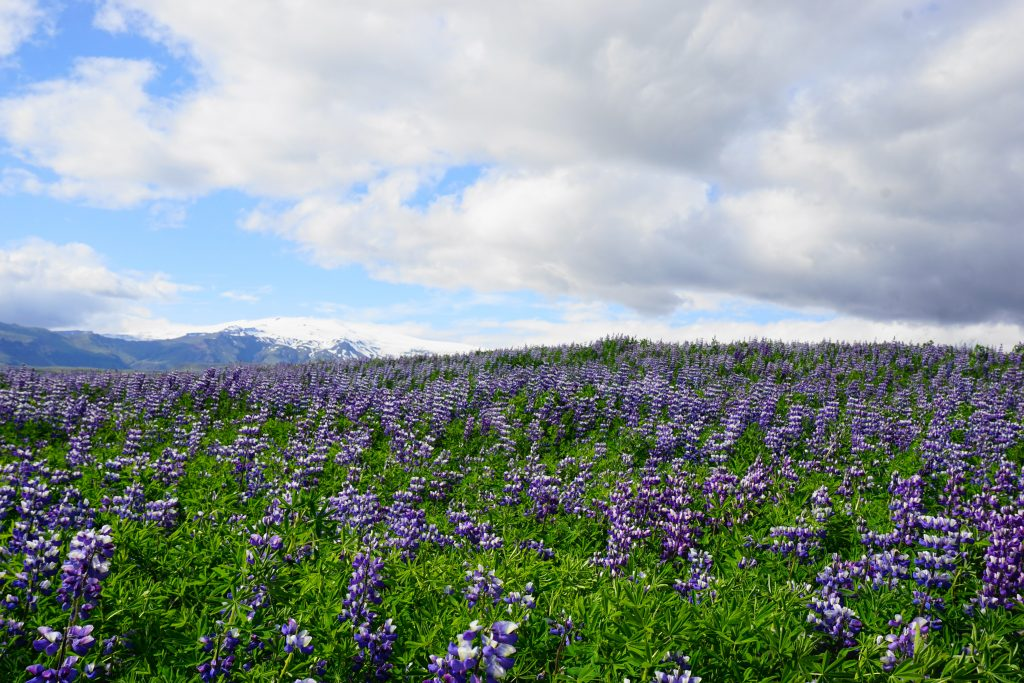 field on lupin on Iceland's South Coast