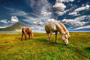 two Icelandic horses grazing