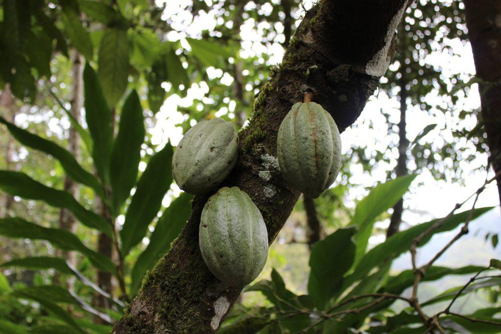 cacao farm near Bijagua costa rica (near Rio Celeste)